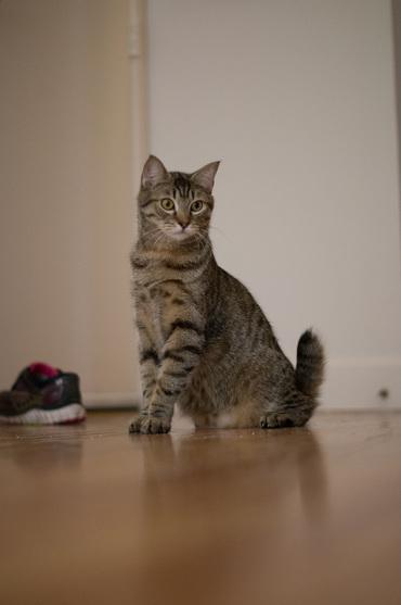 Hoss Cartwright the Cat