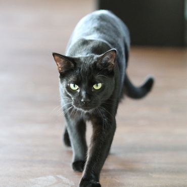 Why are black cats thought to be bad luck?